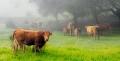 dehesa, Miguel Villafaina, de jerez de los caballeros, ganaderia, vacas, cerdos,